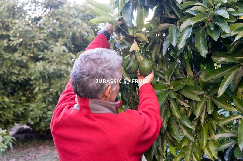 Producteur d'Avocat bio pour Jurassic Fruit