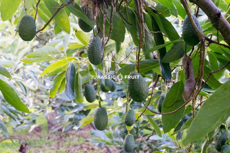 Plantation d'Avocats chez un producteur de Jurassic Fruit