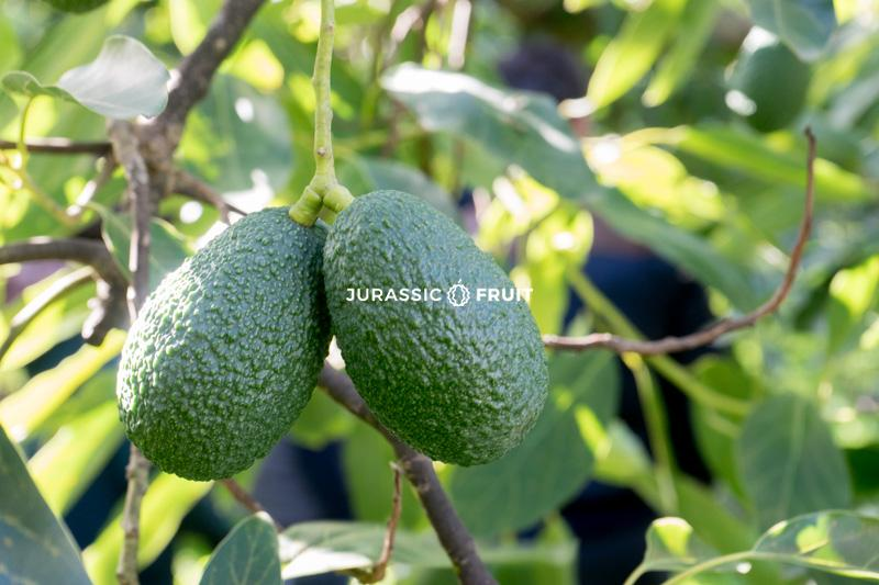 Avocado Baum