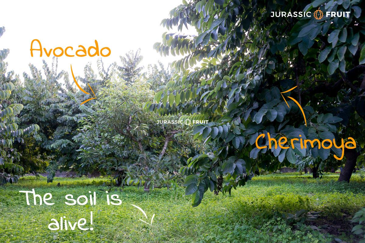 Verger en Permaculture chez un producteur d'Avocat de Jurassic Fruit